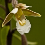 Epipactis palustris - Moeraswespenorchis