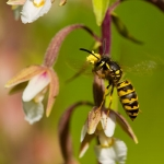 Epipactis palustris - Moeraswespenorchis & Vespula vulgaris - Gewone Wesp: Bestuiver