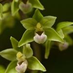Epipactis purpurata - Paarse wespenorchis