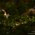 Epipogium aphyllum - Spookorchis