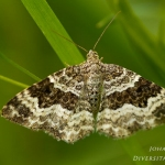 Epirrhoe alternata - Gewone bandspanner