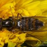 Episyrphus balteatus - Snorzweefvlieg