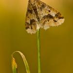 Erannis defoliaria - Grote wintervlinder