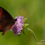 Erebia ligea - Boserebia