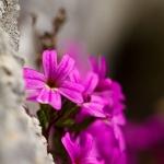 Erinus alpinus