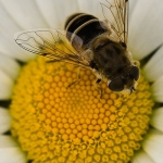Eristalis arbustorum - Kleine Bijvlieg
