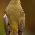 Erithacus rubecula - Roodborst