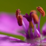 Erodium cicutarium - Reigersbek