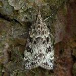Eudonia truncicolella - Nazomergranietmot