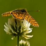 Euphydryas aurinia - Moerasparelmoervlinder