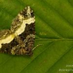 Euphyia unangulata - Scherphoekbandspanner