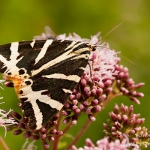 Familia Erebidae - Spinneruilen