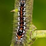 Euproctis similis - Donsvlinder