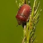 Eurygaster testudinaria - Bruine wants