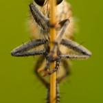 Eutolmus rufibarbis - Roodbaardroofvlieg