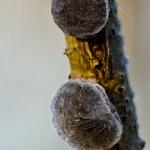 Exidia truncata - Eikentrilzwam
