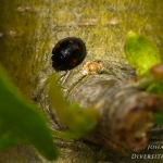 Exochomus quadripustulatus - Viervleklieveheersbeestje