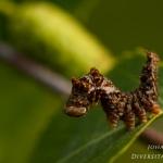 Familia Drepanidae - Eenstaartjes