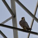 Falco peregrinus - Slechtvalk