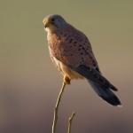 Ordo Falconiformes