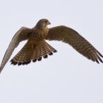 Falco tinnunculus - Torenvalk