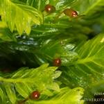 Fissidens dubius - Kalkvedermos
