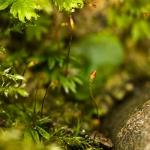 Fissidens gracilifolius - Steenvedermos