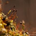 Fissidens viridulus - Klein gezoomd vedermos