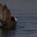 Ordo Gruiformes - Kraanvogelachtigen