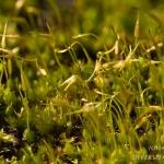Funaria hygrometrica - Gewoon krulmos