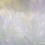 Galanthus nivalis - Gewoon sneeuwklokje