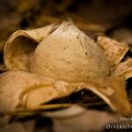 Geastrum fimbriatum - Gewimperde aardster