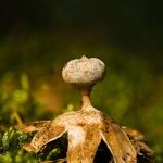 Geastrum pectinatum - Grote Aardster
