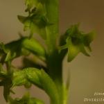 Gennaria diphylla - Tweehartenorchis