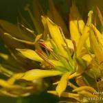Gentiana lutea - Gele gentiaan