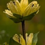 Gentiana punctata - Gespikkelde gentiaan