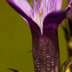 Gentianella germanica - Duitse gentiaan