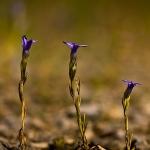 Gentianopsis ciliata - Franjegentiaan