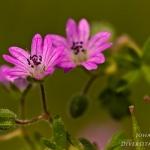 Geranium molle - Zachte ooievaarsbek