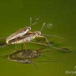 Familia Gerridae - Schaatsenrijders