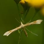 Gillmeria ochrodactyla - Zandvedermot