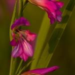 Gladiolus italicus
