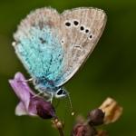 Glaucopsyche alexis - Bloemenblauwtje