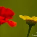 Glebionis segetum - Gele ganzenbloem