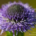 Familia Plantaginaceae - Weegbreefamilie