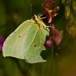 Gonepteryx rhamni - Citroenvlinder