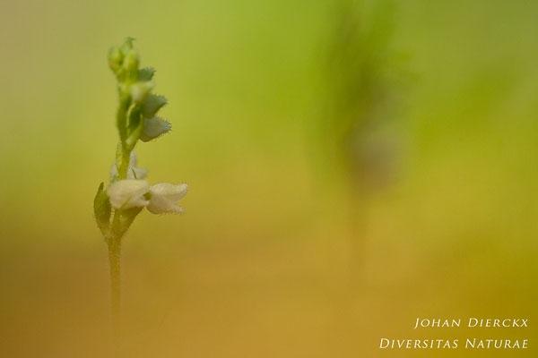 Goodyera repens - Dennenorchis
