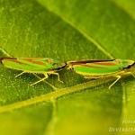 Familia Cicadellidae - Dwergcicaden