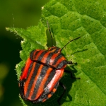 Graphosoma lineatum - Pyjamawants