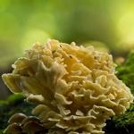 Grifola frondosa - Eikhaas